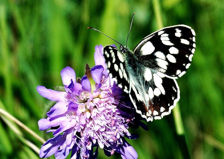 Vlinder, Dambordje - Gefototografeerd in Zuid Frankrijk.<br />