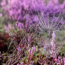 Spinnenweb in het paarse `tumult`
