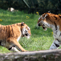 Dreigende tijgers