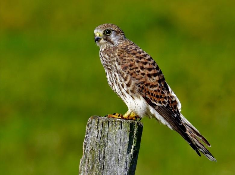 Falco tinnunculis portret - Torenvalk portretje