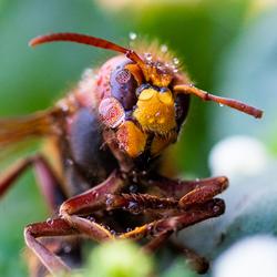 Hoornaar onder de druppeltjes