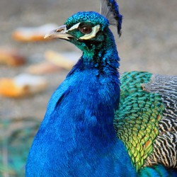 I am a proud Peacock!