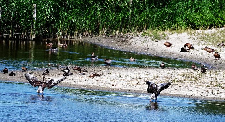 wie is de eerste  - Nog een opname in de polder bij mijn favoriete plek .  twee ganzen die een wedstrijdje  houden . <br /> <br />  Groeten <br />