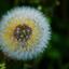 bloem en zaad