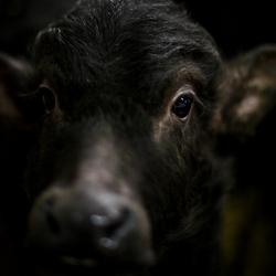 Buffel kalf