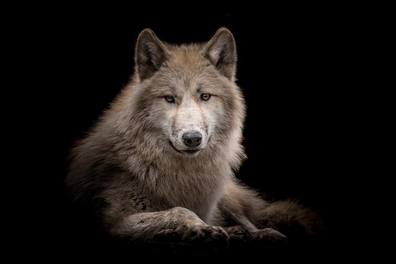 Hudson Bay Wolf - Sorry dat ik stoor maar heeft iemand van jullie misschien roodkapje gezien...