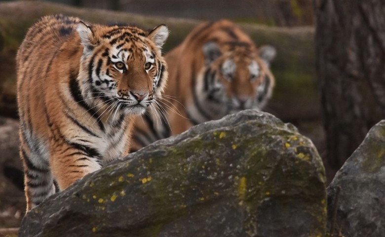 Jarig - Aïda met één van haar broers op de achtergrond, de jonge tijgers hebben van de week hun eerste verjaardag gevierd. Deze foto is van februari.<