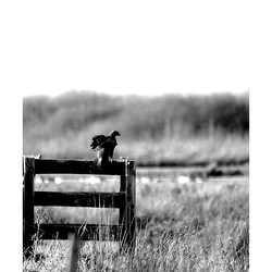 Bewerking: Roofvogel