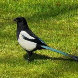 Vogel serie 104. Moeilijke Ekster