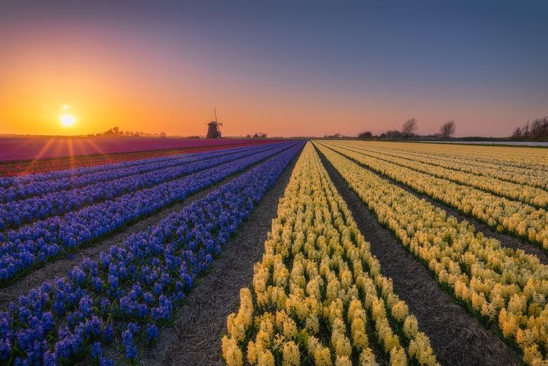 Windmill & Hyacinths