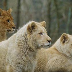 Bruine en Witte Leeuwen