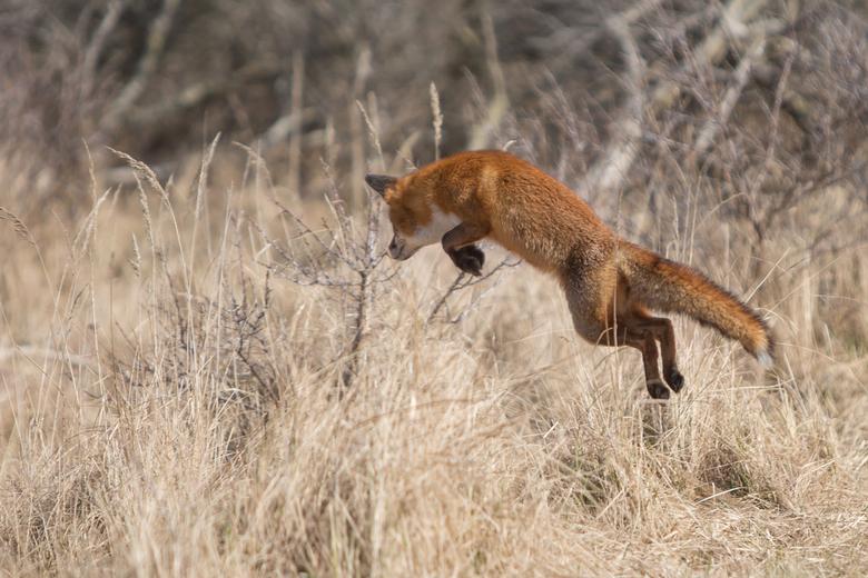Jumping vos - prachtig om te zien hoe een vos zijn prooi bespringt, helaas voor deze dame zonder succes ...