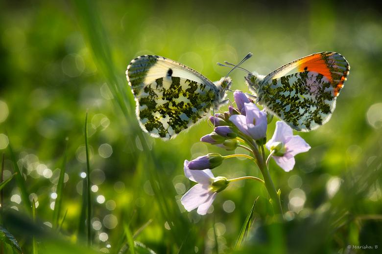 """verliefd... - ...ben ik zeker op die prachtige vlindertjes. <br /> <br /> Hopelijk zijn ze dat ook op elkaar <img  src=""""/images/smileys/wilt.png""""/><"""