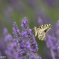 Koninginnenpage op Lavendel
