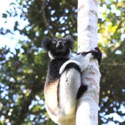 Indri Indri in the wild