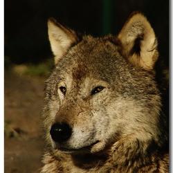 Wolf in Dierenrijk