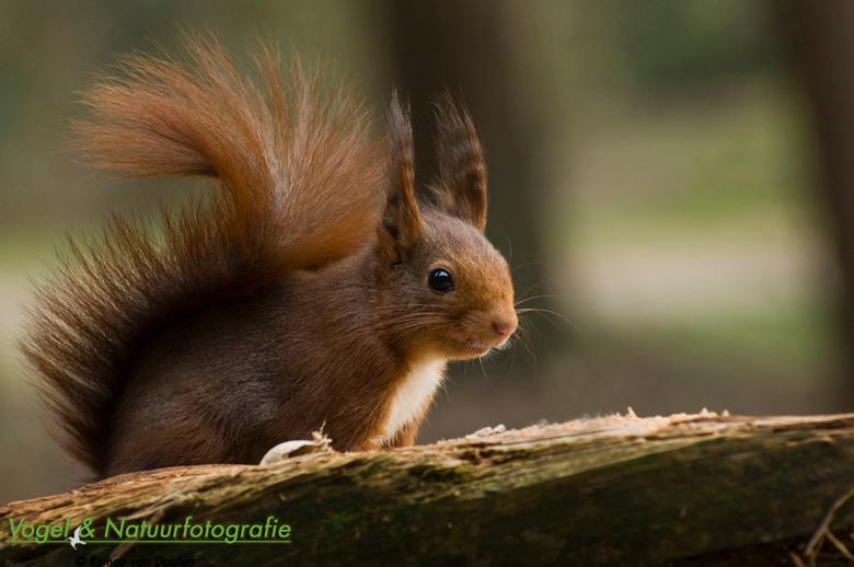 Eekhoorn, Veluwe - Tijdens mijn lang weekend verblijf in de Hoge Veluwe waren mijn favoriete diertjes er gelukkig ook weer.<br /> <br /> Iedereen ha