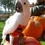 Mijn Witkuifkaketoe Maxi is verbaasd over alle 'Halloween'-pompoenen.