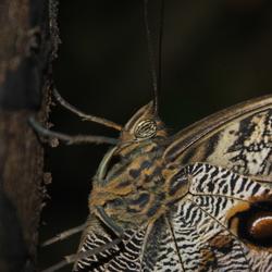 Uilenvlinder