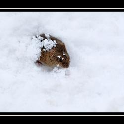 veldmuisje in de koude sneeuw