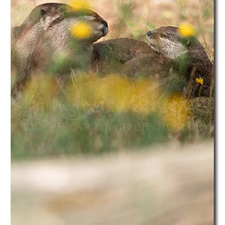 Otters In Buttercups