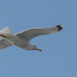 Stormvogel