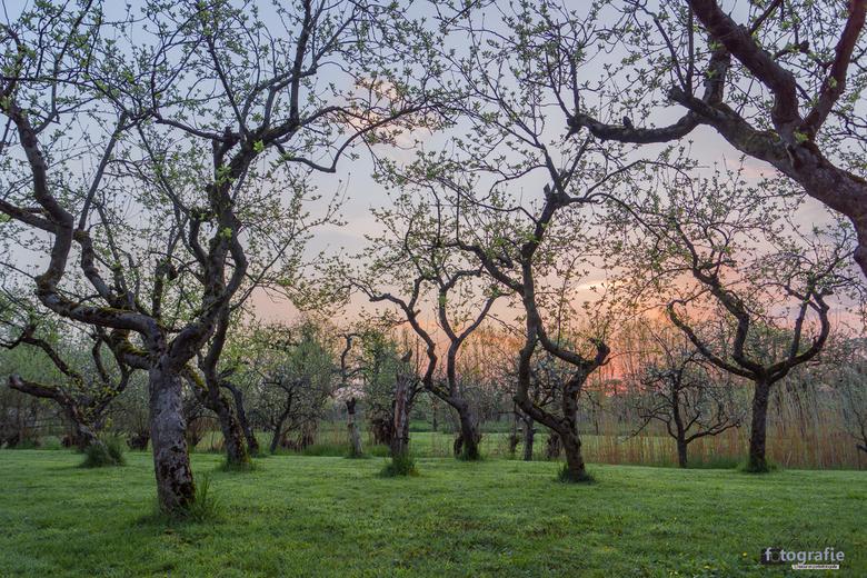 Zonsopkomst in de boomgaard - Nabij Schoonhoven (stad in de Krimpenerwaard) ligt Boomgaard de Lekbongerd. Een prachtige boomgaard, wat zich in de vroe