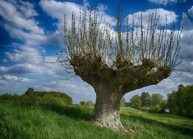 Tree in spring - Uitbottende esdoorn, toevallig gesignaleerd tijdens een fietstochtje