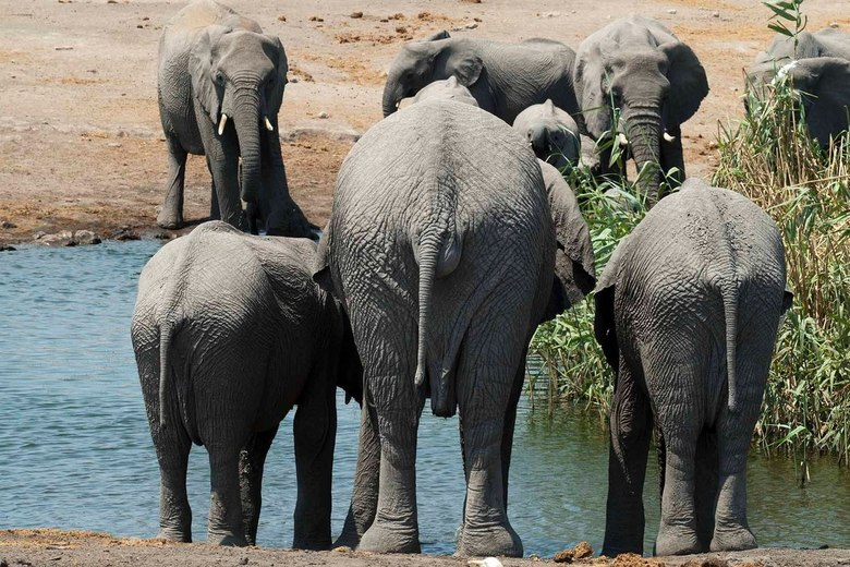 Lekker kontje - Kudde olifanten bij een waterpoel in Etosha Nationaal Park, Namibie