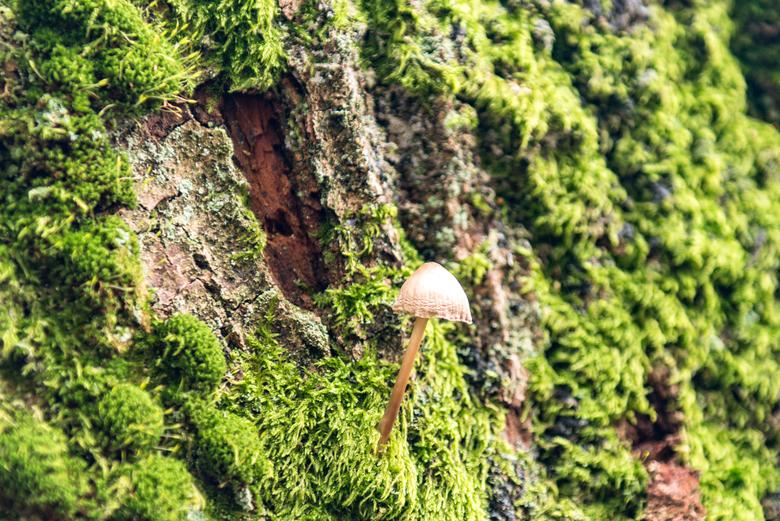 Lonely Mushroom - Paddestoel helemaal in z'n eentje op een met mos begroeide boom.