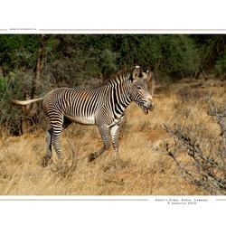 Grevy Zebra 2, Kenia