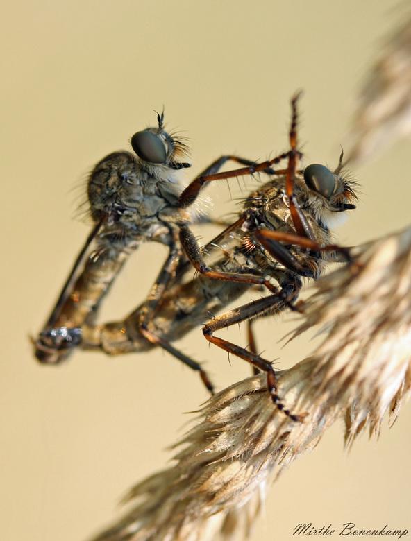 fucking beestjes - Deze muggen (denk ik) waren zo druk met elkaar bezig dat ze mij en mijn macrolens met tussenringen niet eens door hadden.