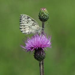 vlinder in de Jura