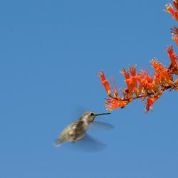 Kolibrie bij een Ocotillo