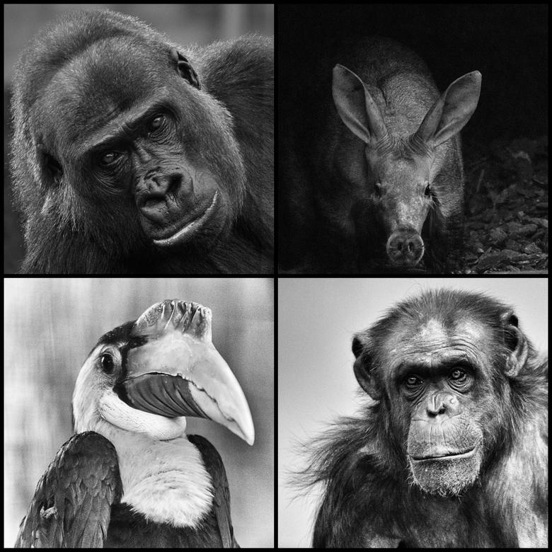 Vierluik dierportretten in zwart-wit - In 2017 volgde ik via fotoclub FODO een mentoraat bij Liesbeth van Asselt. <br /> Tijdens het mentoraat leerde