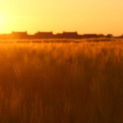 Sunset Wheat