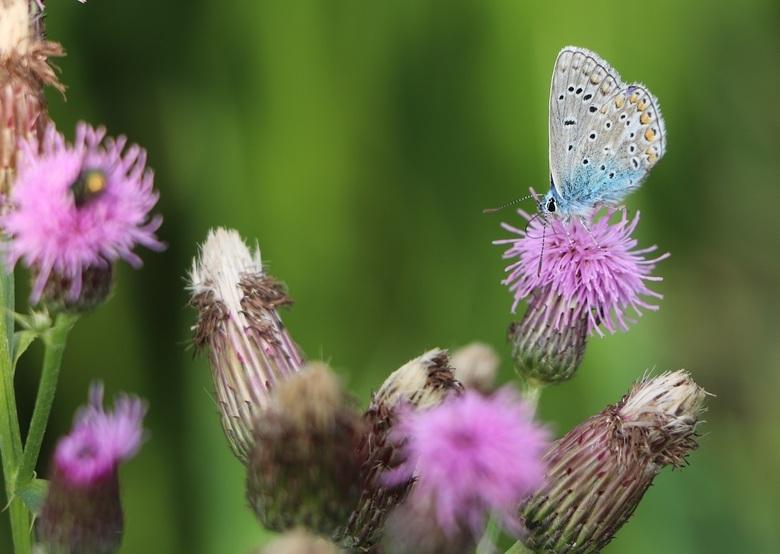 icarusblauwtje - september is toch wel de tijd dat je ze het beste kunt fotograferen, deze prachtige vlinders