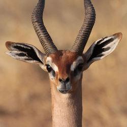 Giraffegazelle