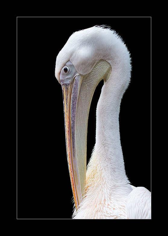 Pelikaan - Ik ga nog even door met de dierentuin van Emmen. Hierbij een pelikaan, waarbij ik de achtergrond weer weggehaald heb.<br /> <br /> Groet
