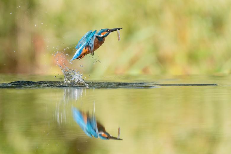 IJsvogel - IJsvogel vliegt op vanuit het water met een vis in zijn bek. Vanuit een laag standpunt gemaakt, zodat ik ook de spiegeling mee nam in de fo