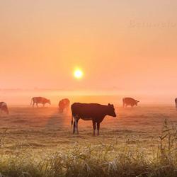 Foggy Cows.......