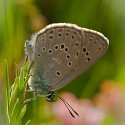 Zeldzaam gentiaanblauwtje