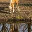 Reflectie van paard in het water