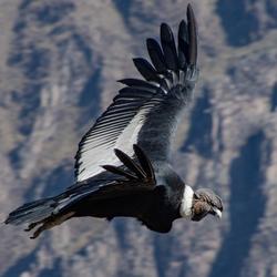 Condor in de Condor Canyon, Peru