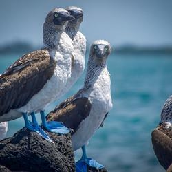 BlauwvoetGent, Galapagos Islands