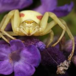 Close-up vooraanzicht van de krabspin tussen de lavendelbloemetjes in afwachting van een prooi.
