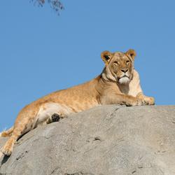 Leeuwin op de uitkijk