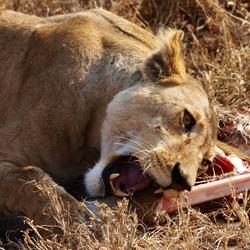 Leeuw eet zijn prooi