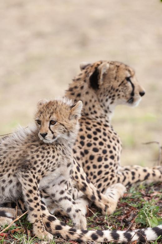 EM-9133.JPG - Cheeta jong met moeder