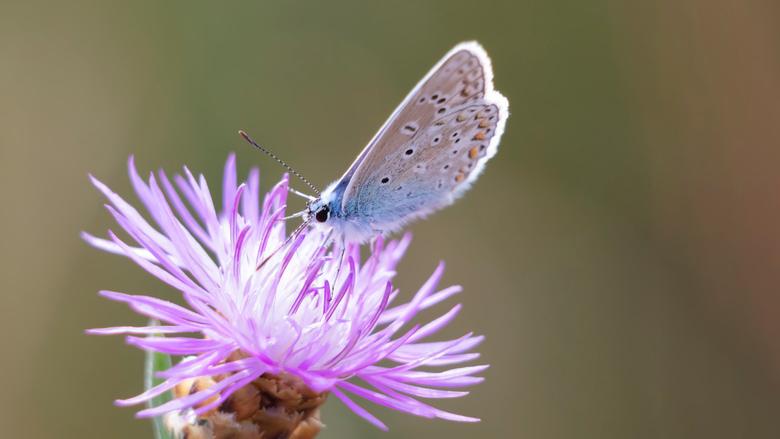 Icarusblauwtje op distel - Icarusblauwtje op distel<br /> <br /> 300mm met 65 mm tussenringen<br /> Moerputten (Noord-Brabant)